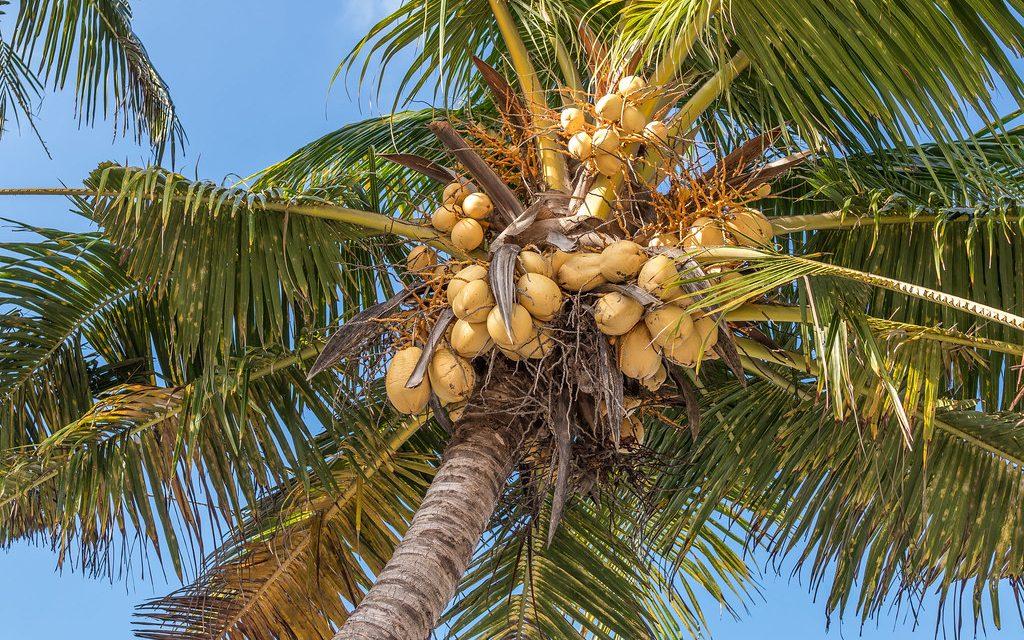 Cocoteros a orillas del Arlanzón